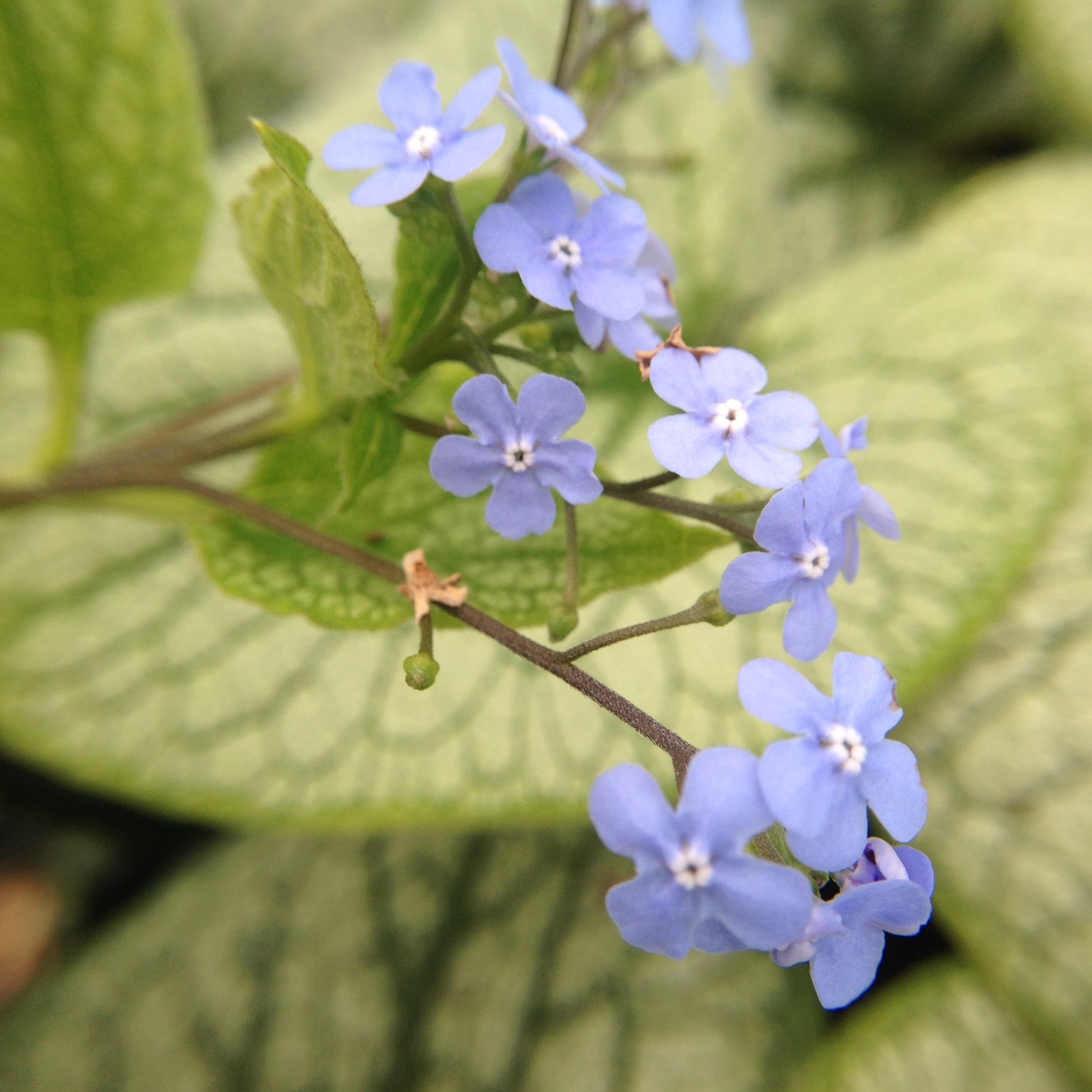 5 Early Spring Blooming Perennials Everlongardener