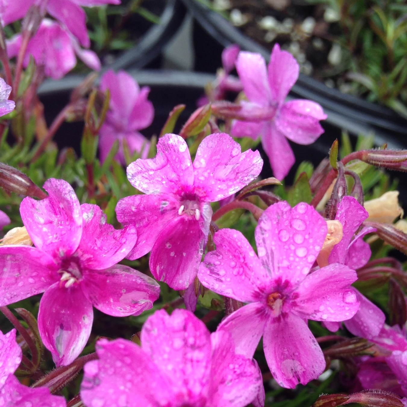 5 early spring blooming perennials everlongardener - Flowers that bloom from spring to fall ...